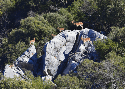 Cabras montesas - Antonio Triviño